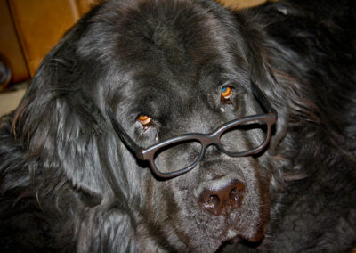 newfoundland-dog-big-bruce