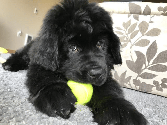 Newfoundland Puppies For Sale Nampa Newfies