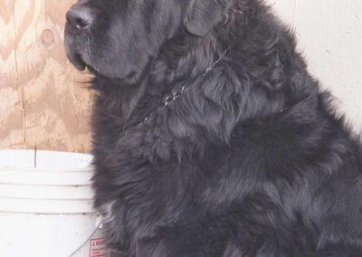newfoundland-puppies-dogsDSCF0250
