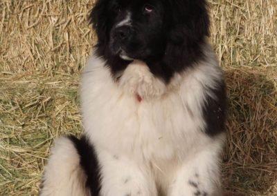 newfoundland-puppies-dogsDSCF2272
