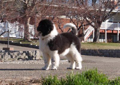 newfoundland-puppies-dogsDSCF2329