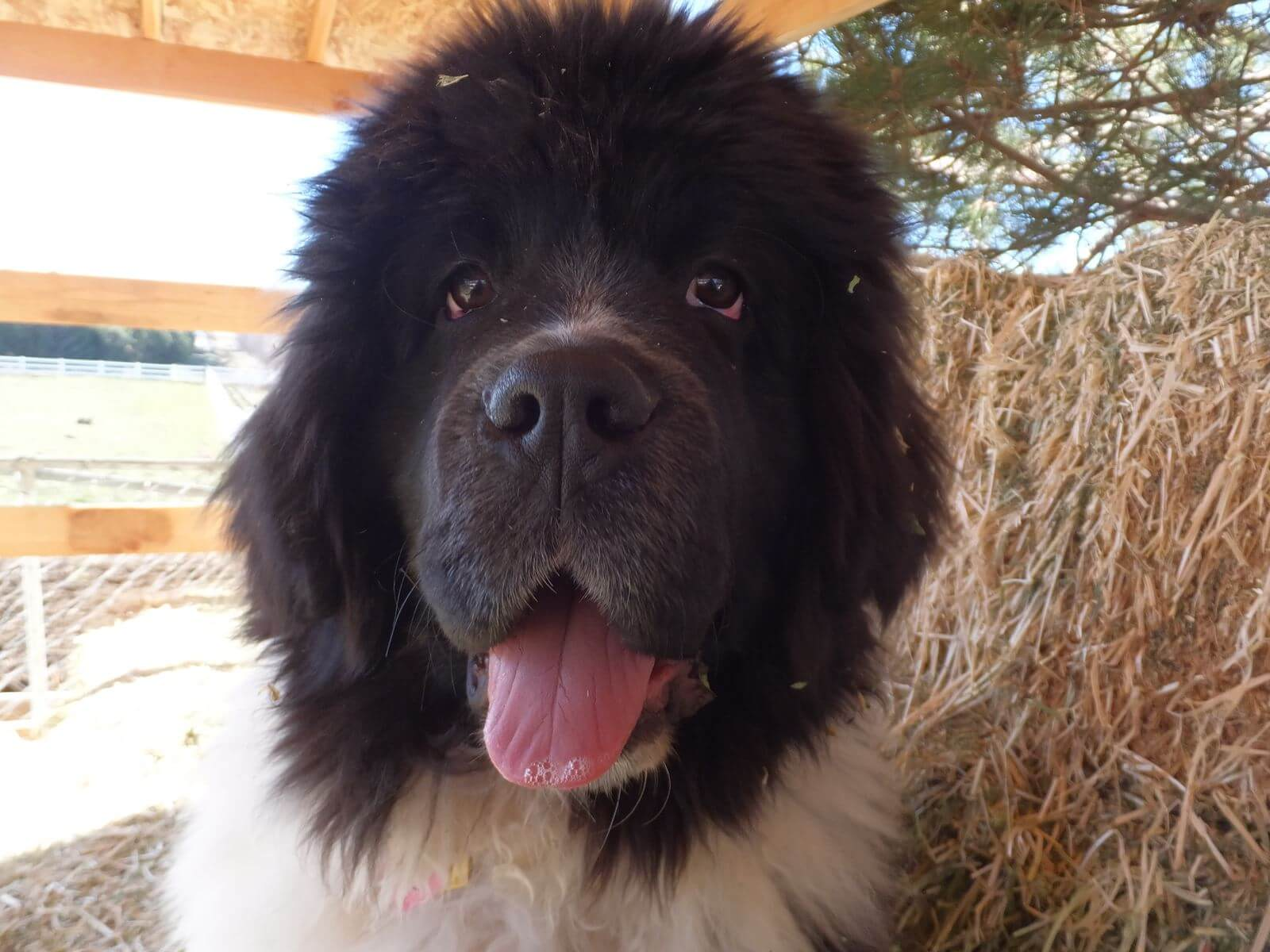 newfoundland-puppies-dogsDSCF2464