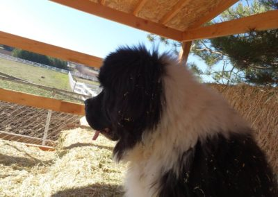 newfoundland-puppies-dogsDSCF2470
