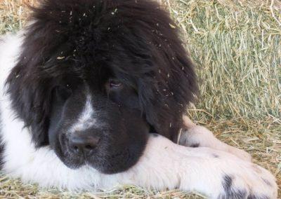 newfoundland-puppies-dogsDSCF2490