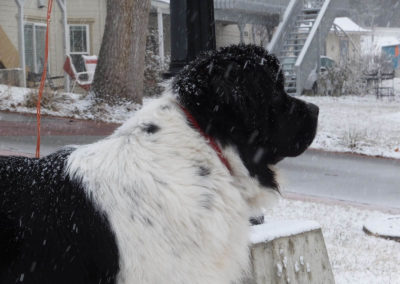newfoundland-puppies-dogsDSCF2642