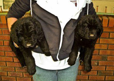 newfoundland-puppies-dogsDSCF3436 (Edited in Camera Raw)
