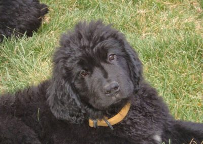 newfoundland-puppies-dogsDSCF3513