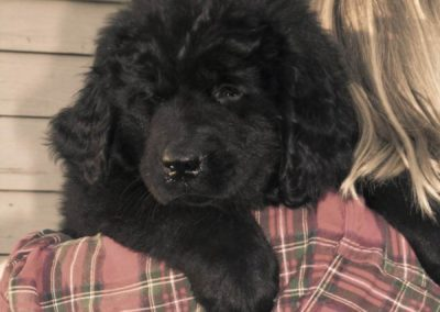 newfoundland-puppies-dogsDSCN0309