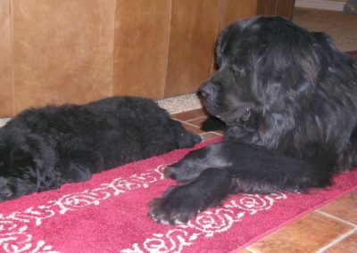 newfoundland-puppies-dogsDSCN3399