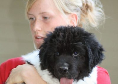newfoundland-puppies-dogsIMG_0250
