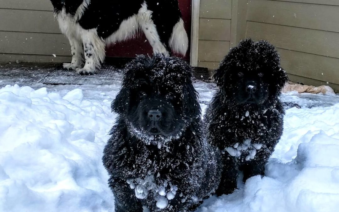 10 Week Old, 30 Pound, Cute-as-a-Baby-Bear, Male, Newfoundland Puppy – SOLD