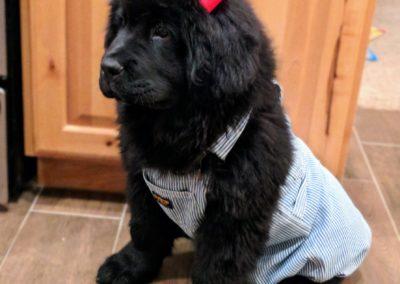 Newfie Puppy