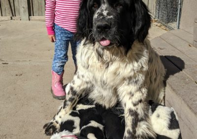 Newfie Mom and puppies